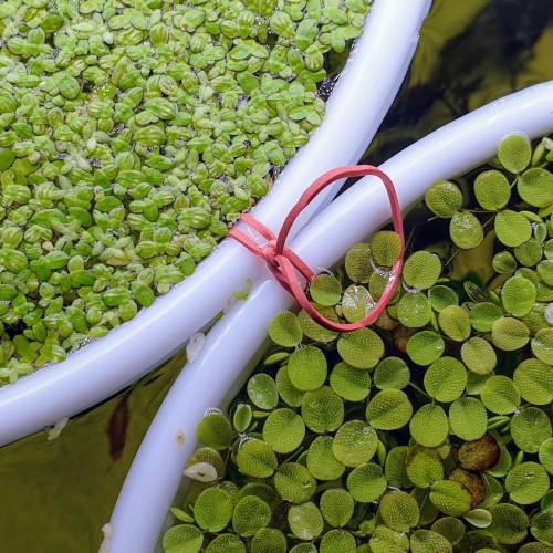 100 Lentilles d'eau - Plante d'aquarium