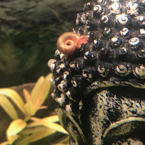 Escargots planorbes