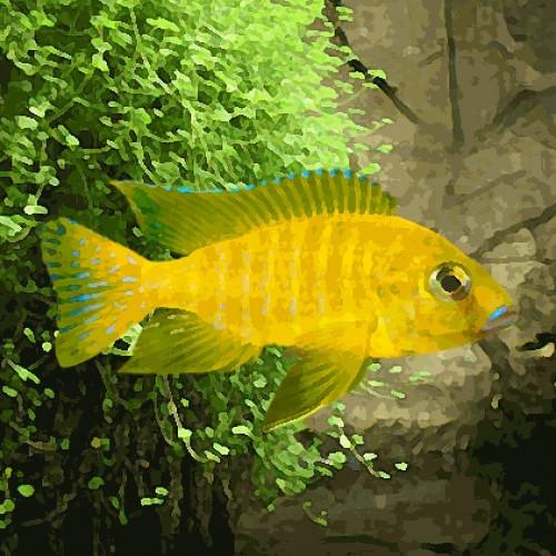 Aulonocara maleri gold (environ 5 cm)
