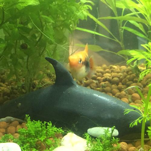 Petits platy élevés en bacs et plantes