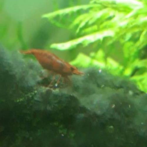 Crevette Sakura Red