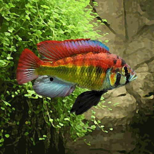 Haplochromis yellow belly (environ 5 cm)