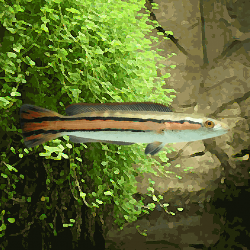 Channa micropeltes red fin (8 à 12 cm)