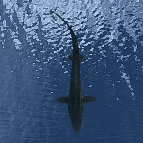 Esturgeons beluga (30 à 35 cm)