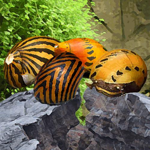Escargot neritina tigre melange