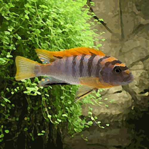 Labidochromis hongi red top (3.5 à 5 cm)
