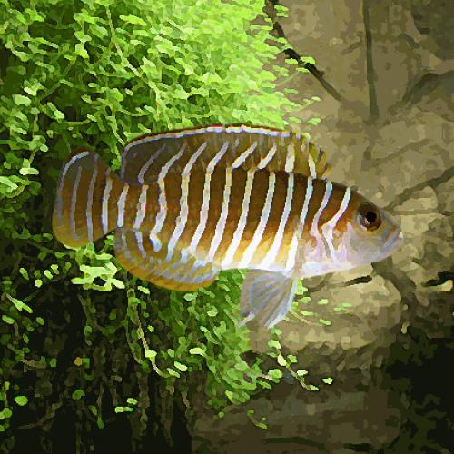 Lamprologus similis (environ 3 cm)