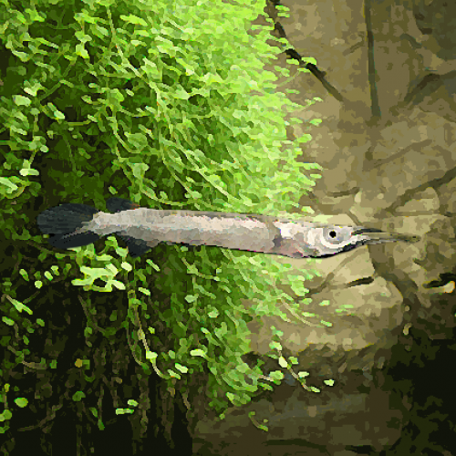 Dermogenys pusilus argent (environ 4 cm)