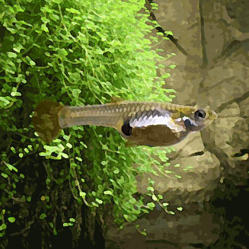 Guppy femelle endler (environ 3.5 cm)