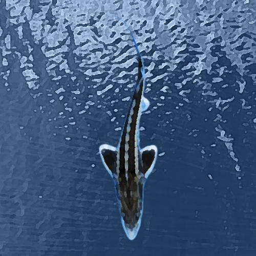 Esturgeons baeri (20 à 25 cm)