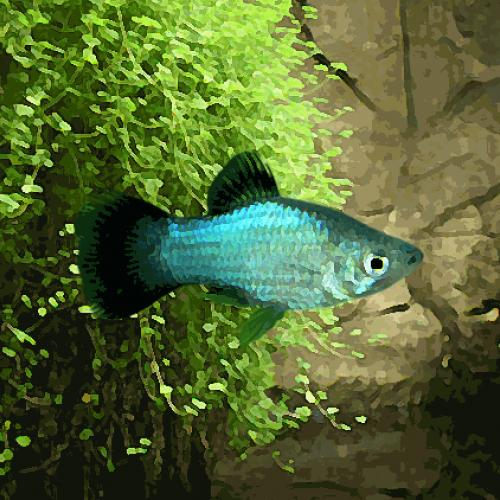 Platy bleu (environ 3.5 cm)