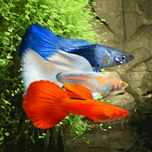 Guppy male melange drapeau bleu/blanc/rouge (environ 4 cm)