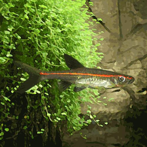 Rasbora pauciperforata