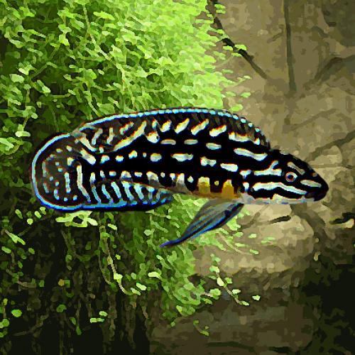 Julidochromis marlieri (environ 5 cm)