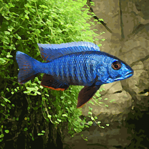 Haplochromis ahli electric blue (environ 5 cm)