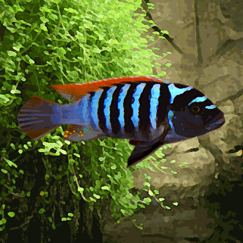 Pseudotropheus zebra red/blue (environ 5 cm)