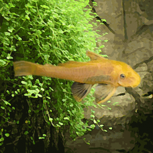 Ancistrus gold (environ 5 cm)