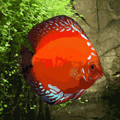 Discus Stendker marlboro rouge (environ 7 cm)