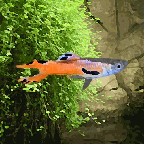 Guppy mâle endler scarlet nacre (environ 2 cm)