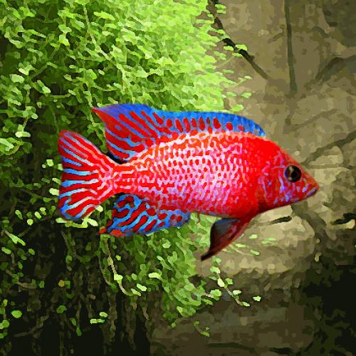 Aulonocara red dragon (environ 5 cm)
