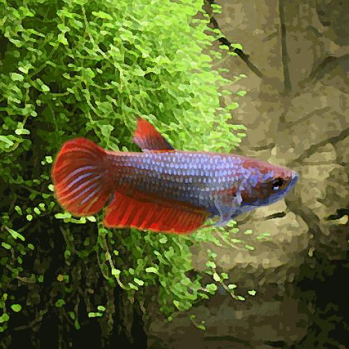 Betta femelle (environ 3.5 cm)