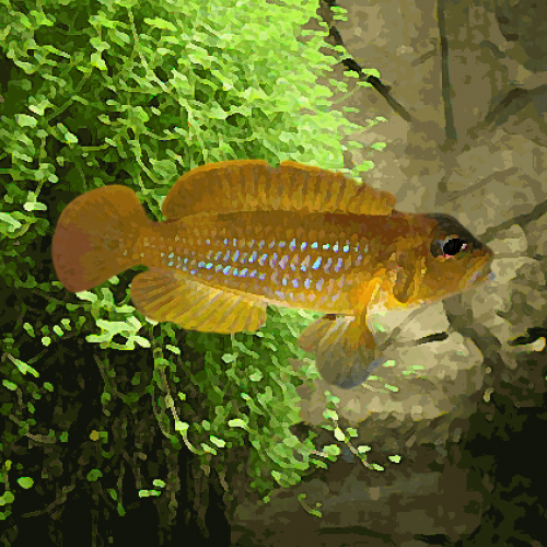 Lamprologus ocellatus gold (environ 3 cm)