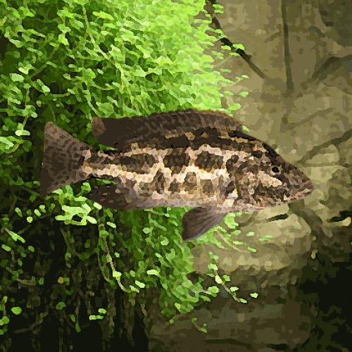Haplochromis polystigma (environ 5 cm)