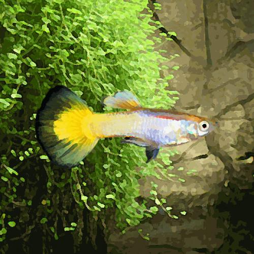 Guppy femelle jaune allemand (environ 4 cm)