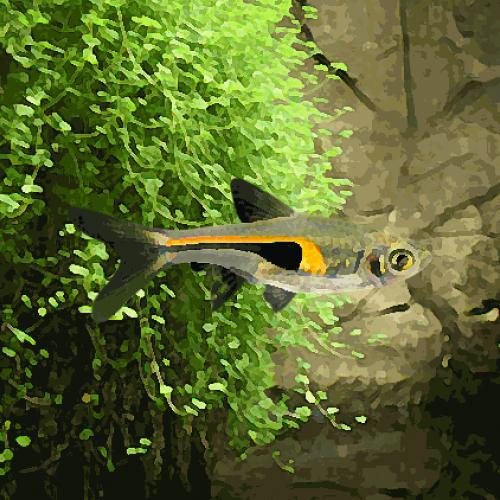 Rasbora hengeli (environ 2 cm)