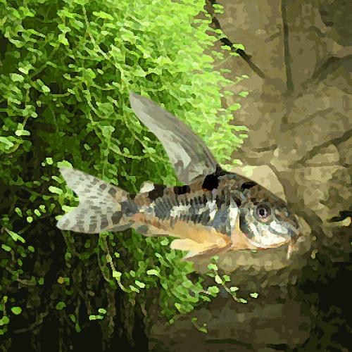Corydoras paleatus voile (environ 3 cm)