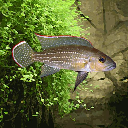 Lamprologus tetracanthus (environ 5 cm)