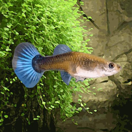 Guppy femelle bleu neon (environ 4 cm)