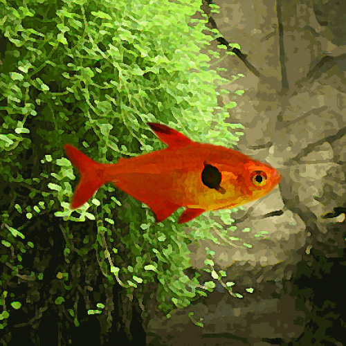 Tetras fantome rouge (environ 2.5 cm)