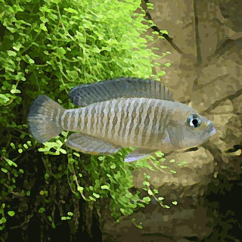 Lamprologus multifasciatus (environ 4 cm)