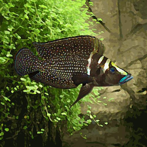 Lamprologus calvus black pearl (environ 4 cm)