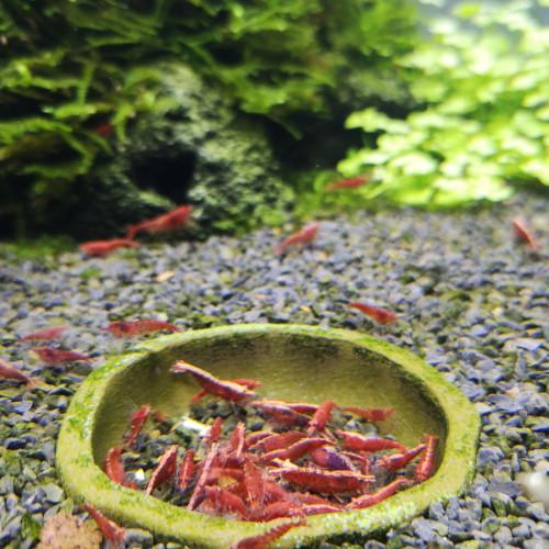 Sakura et red cherry différents grades dans bac déclassées