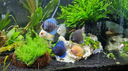 aquarium 80 litres Discus  5-6 cm
