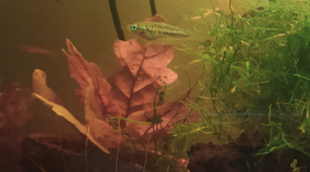 aquarium Biotope South-East Asian
