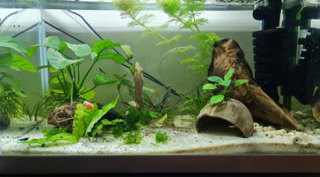 aquarium Neocaridina Bleu