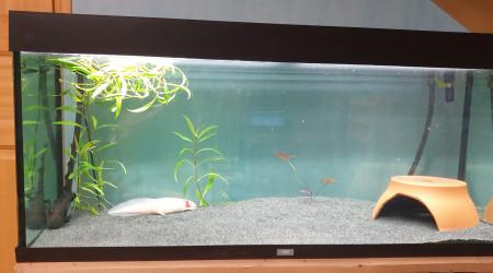 aquarium Aquarium 3 axolotls