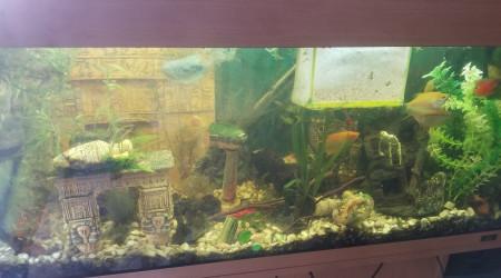 aquarium gourami