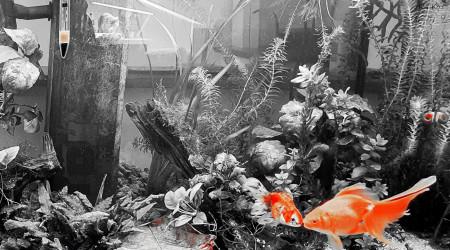 aquarium Voiles de Chine