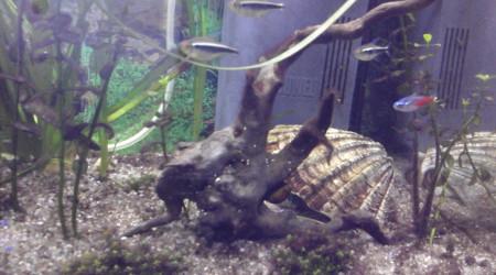 aquarium Goldi