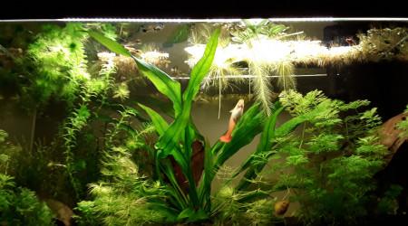aquarium Guppys