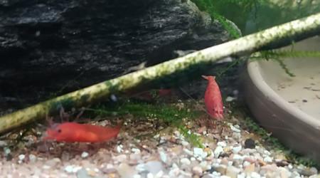 aquarium Red Cherry