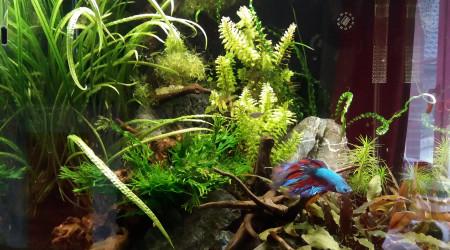 aquarium 60l asiatique