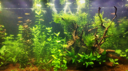 aquarium 450 Asiatique Low Tech