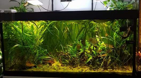 aquarium Aquarium amazonien