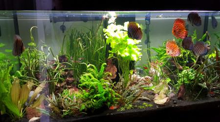 aquarium Bac à Discus