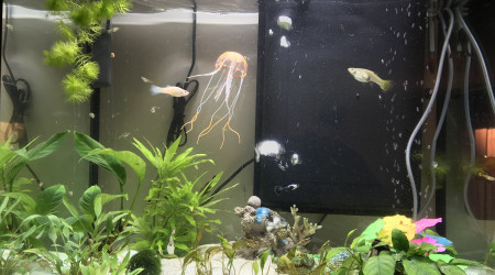 aquarium Communautaire guppy crevettes